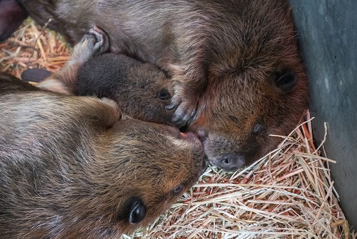 beaver family cuddles together