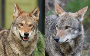 red wolves staring