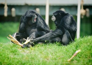 siamangs sitting together.