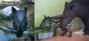 tapir mom, dad and calf