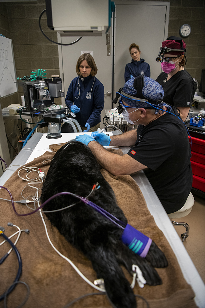 dentist working on a sea otter