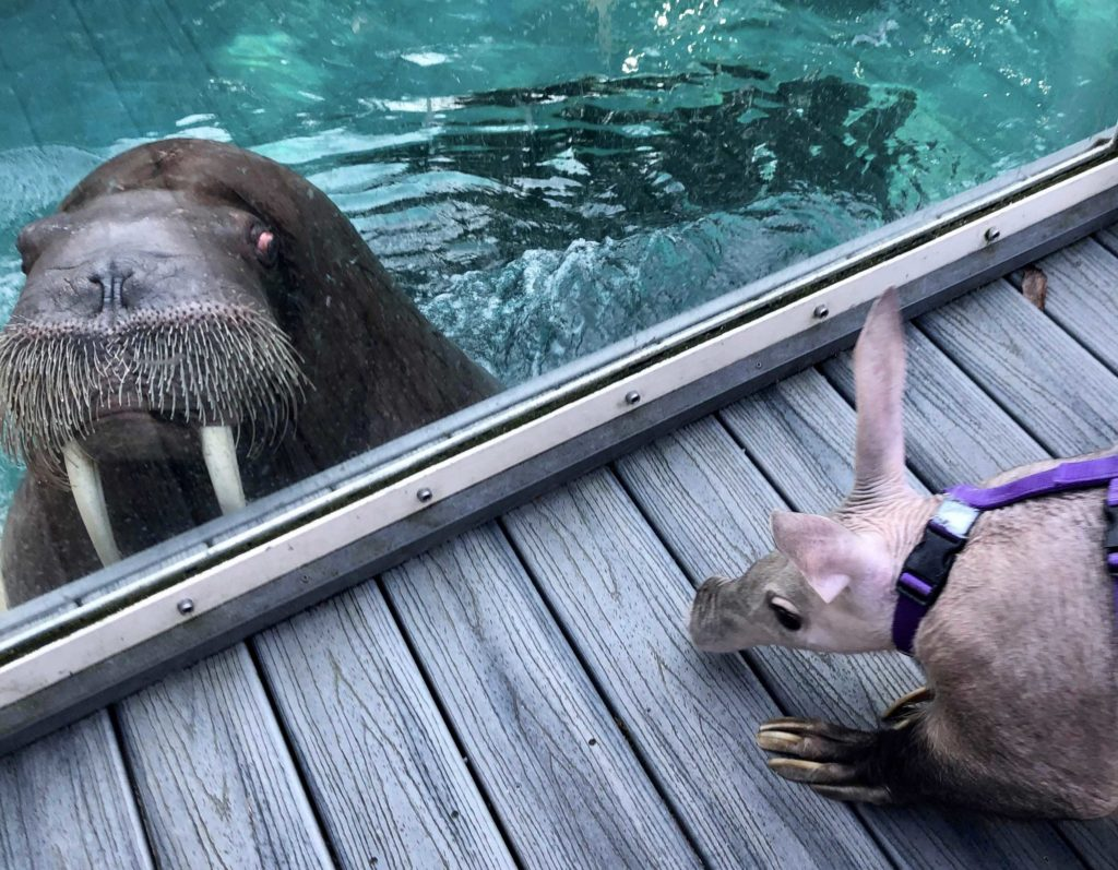 aardvark and walrus