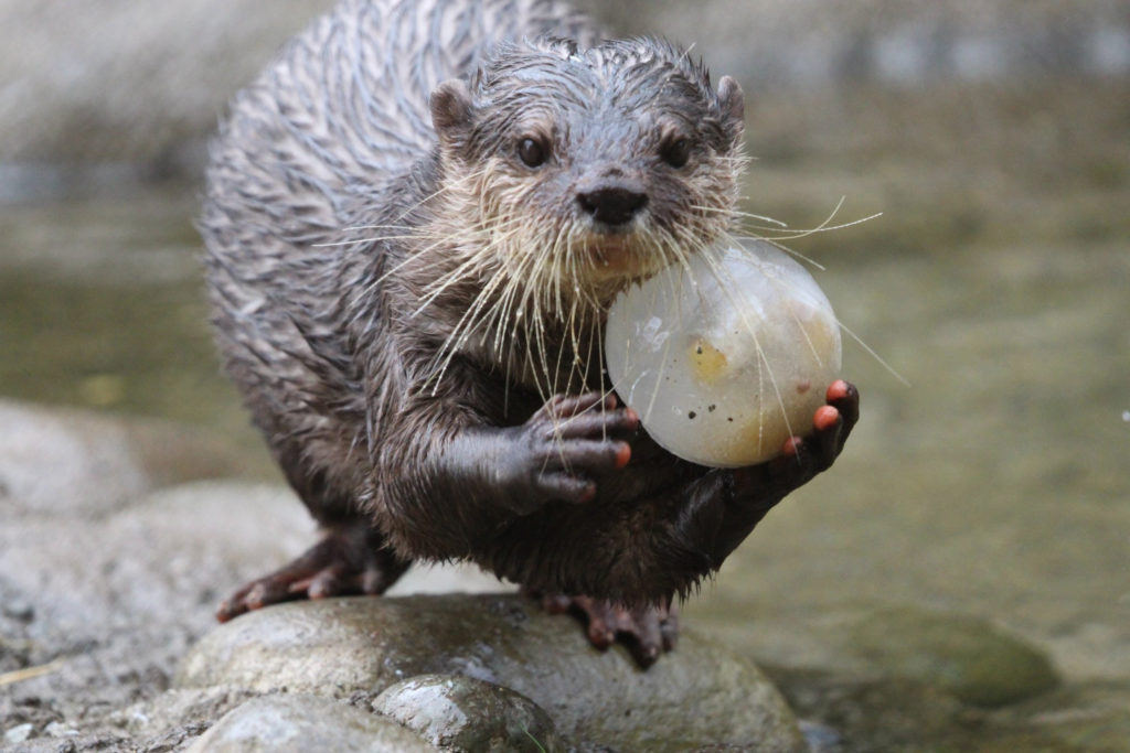 otter with treat