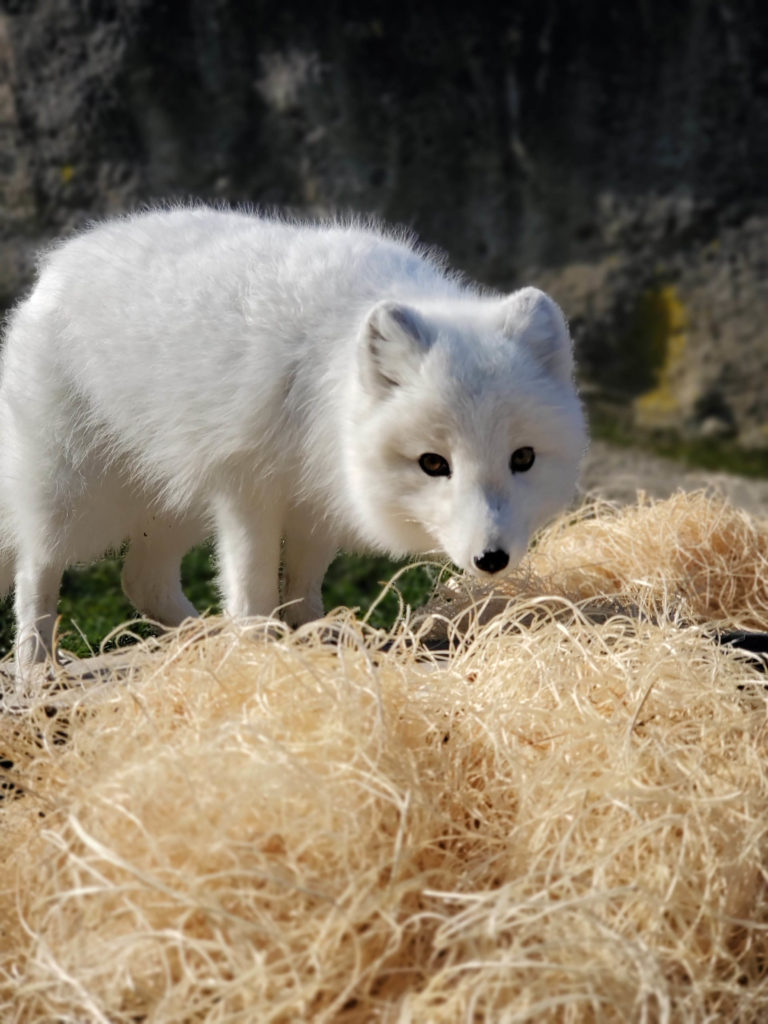 Arctic fox in wood wool