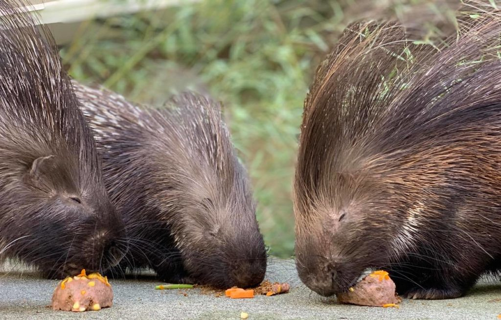 porcupines eating treats