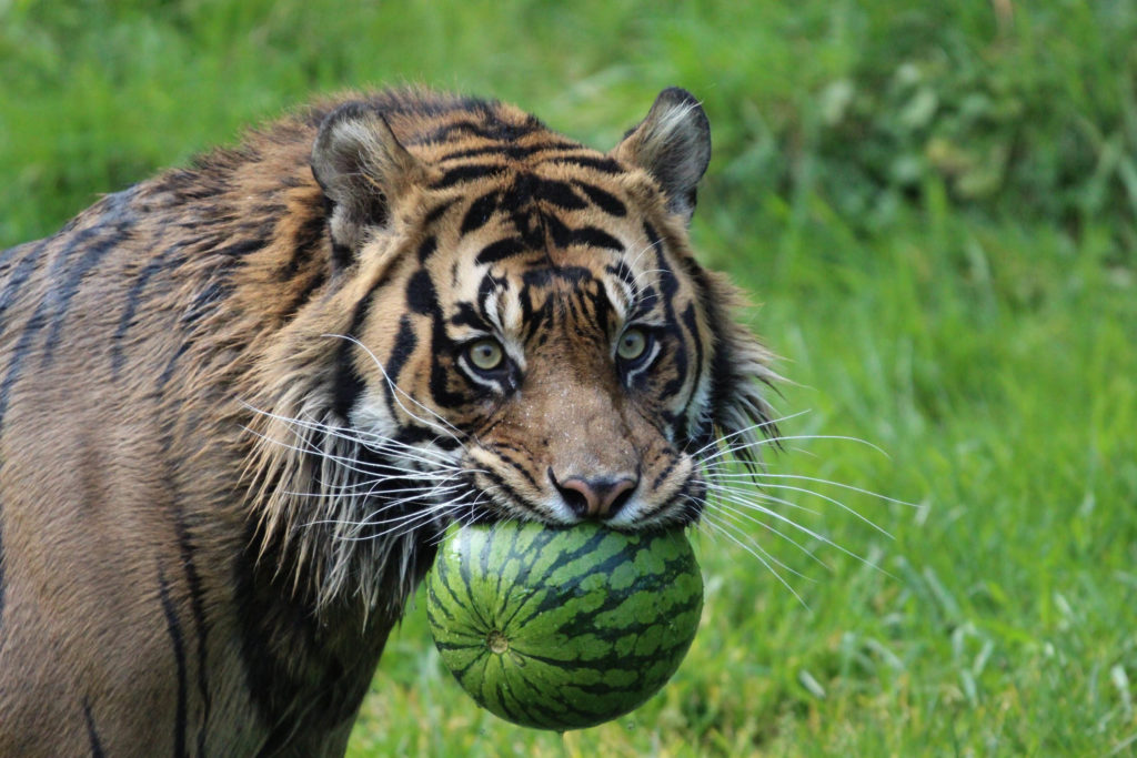tiger and watermelon
