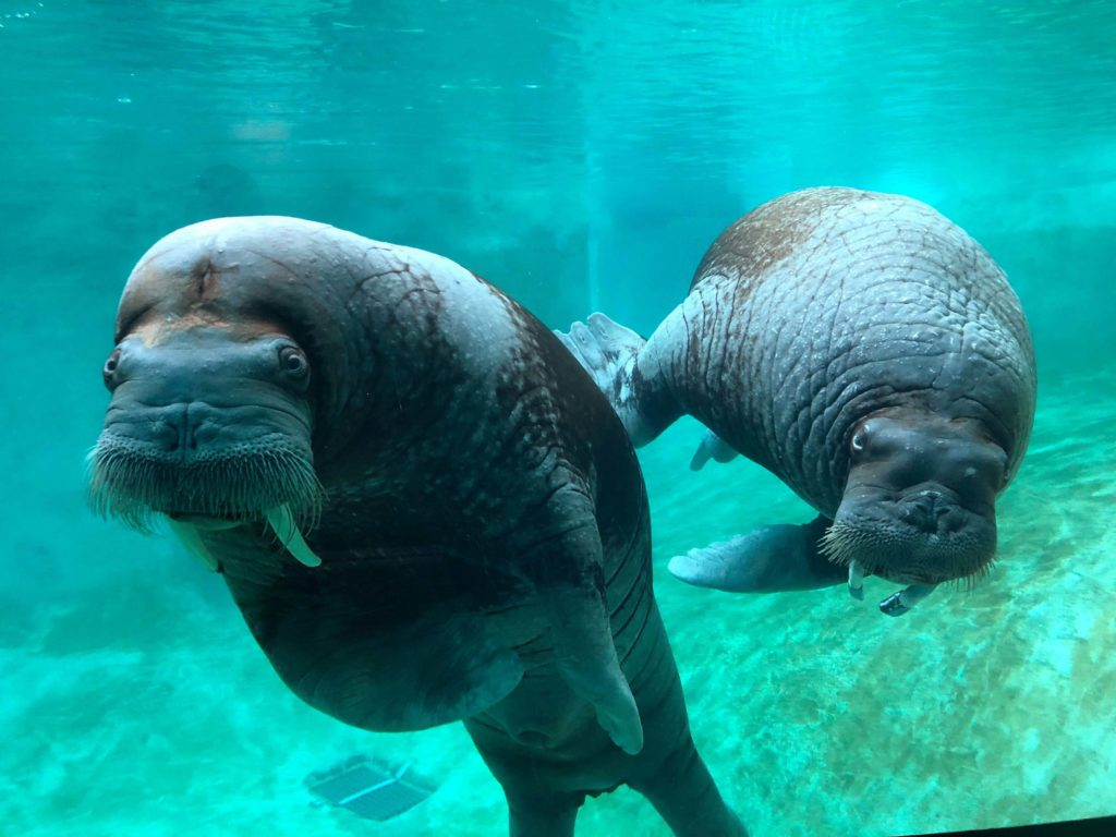 two walruses in pool