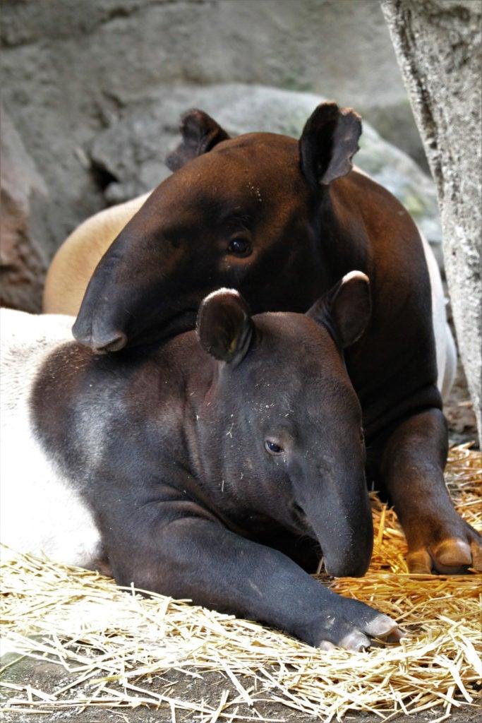 two tapirs