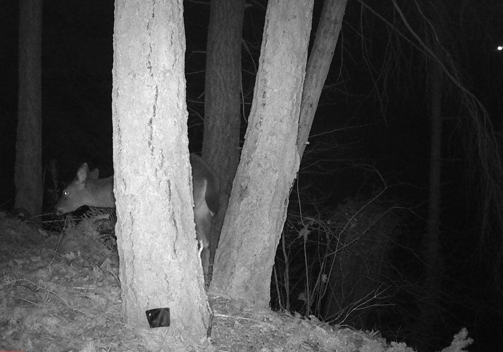Black-tailed deer PDP