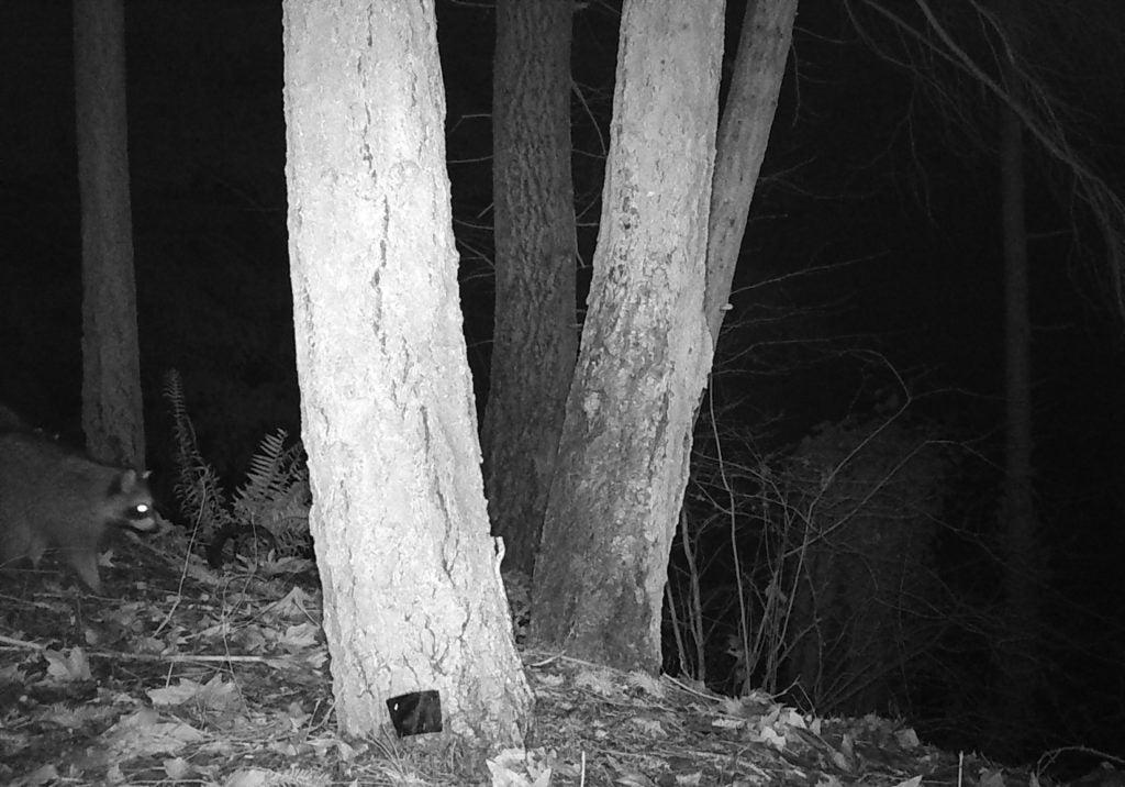 Raccoon PDP