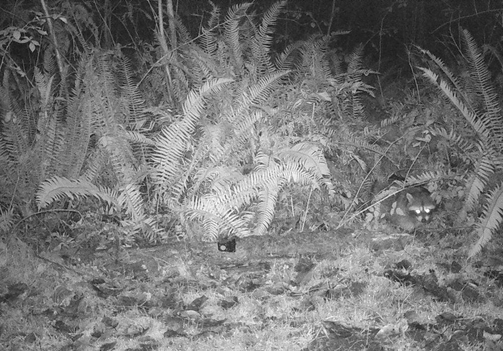 Raccoon RWSR