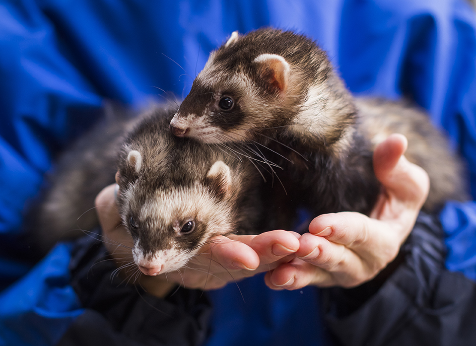 ferrets being held in hand