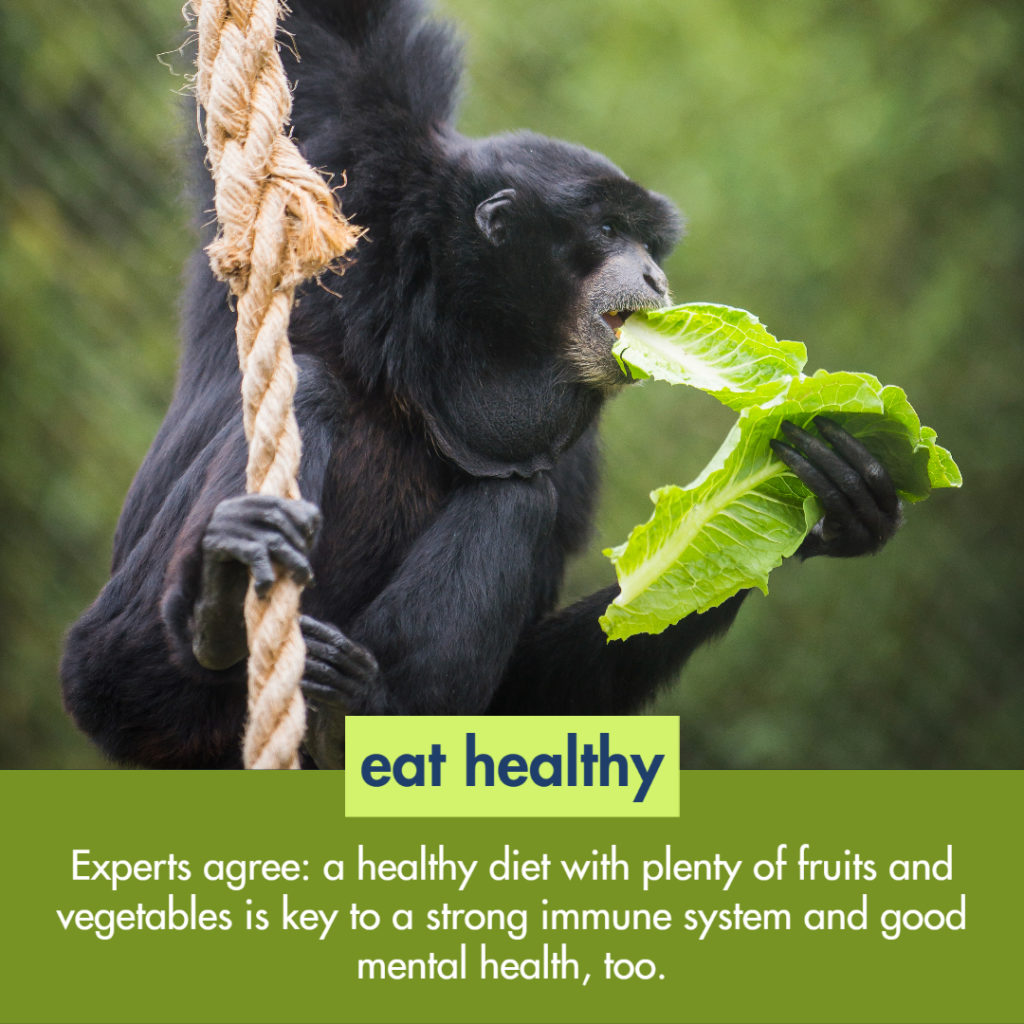 siamang eating lettuce