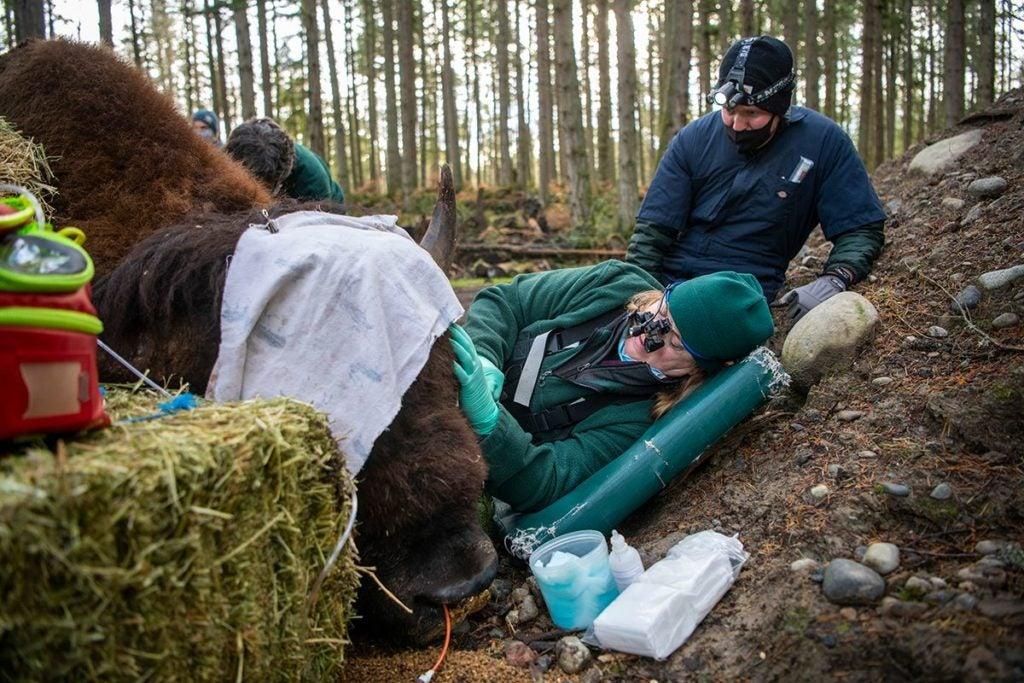Northwest Trek veterinarian Dr. Allison Case works on bison