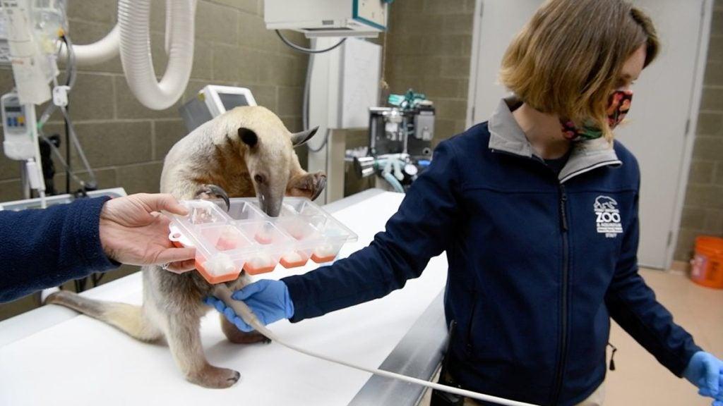 Zoo veterinarian Dr. Kadie Anderson with a tamandua