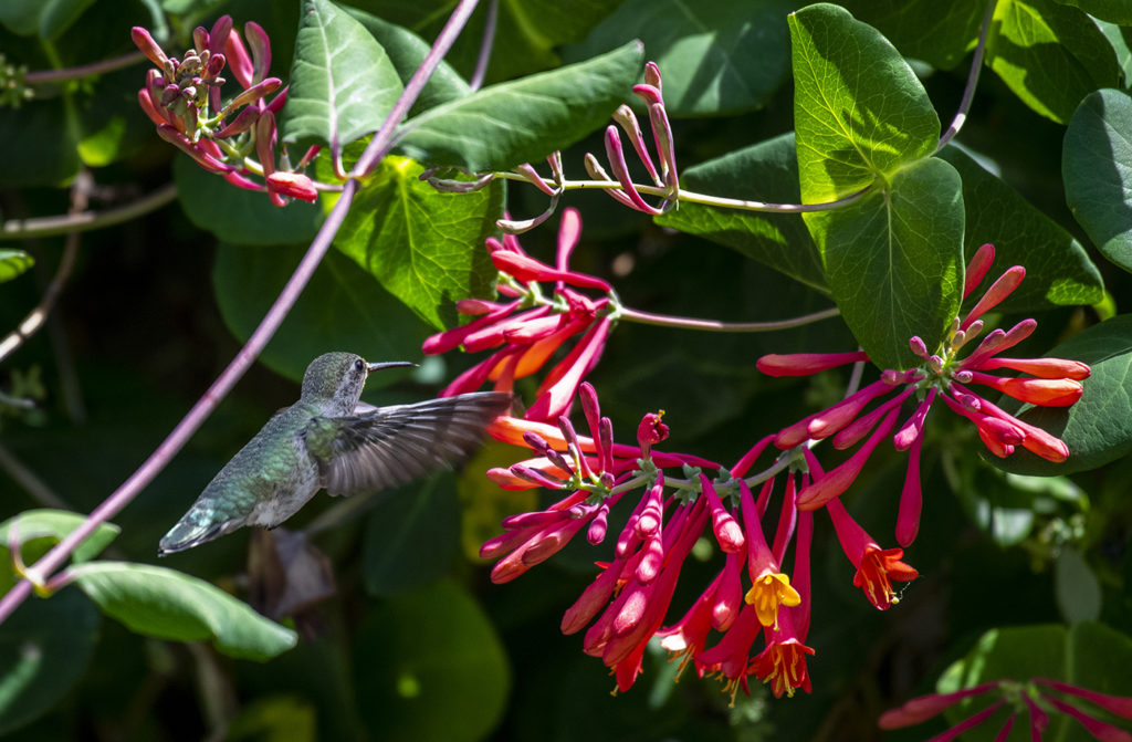 hummingbird on trumpet honeysuckle