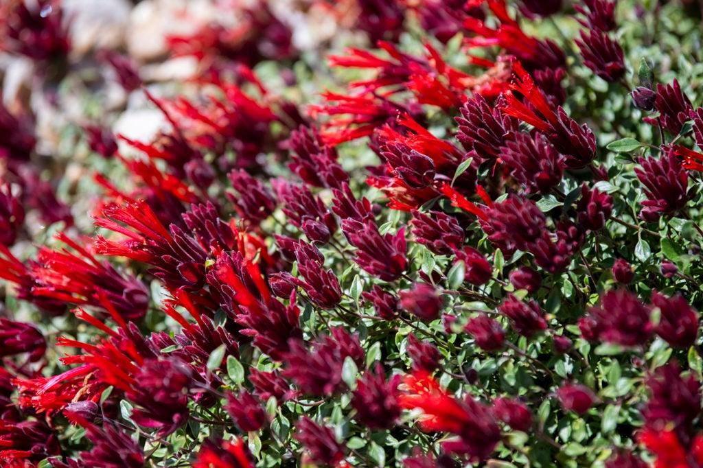 monardella macrantha flower