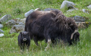 muskox and calf
