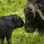 muskox calf and mom faces
