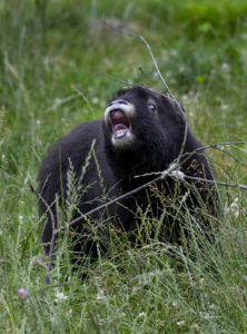 muskox calf yawning