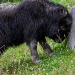 muskox calf head butting rock