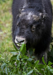 muskox calf eating