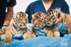 three tiger cubs in hands