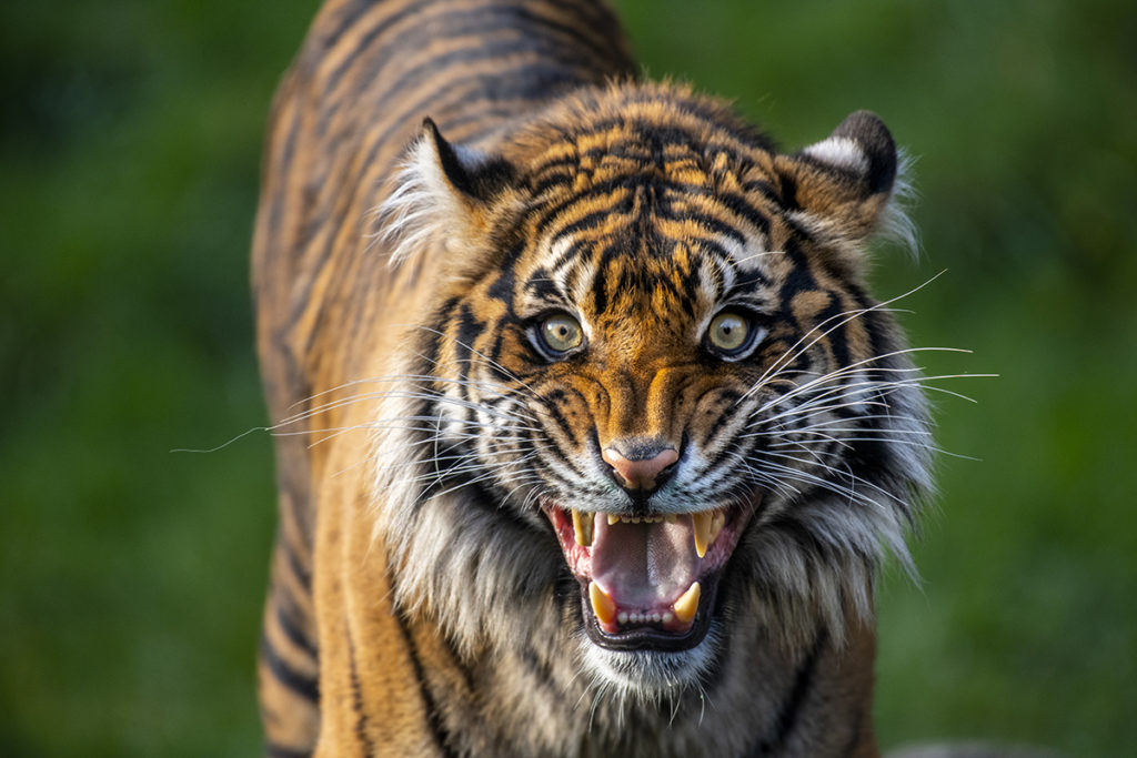 tiger kirana mouth wide
