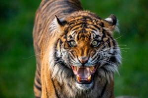 tiger kirana mouth wide