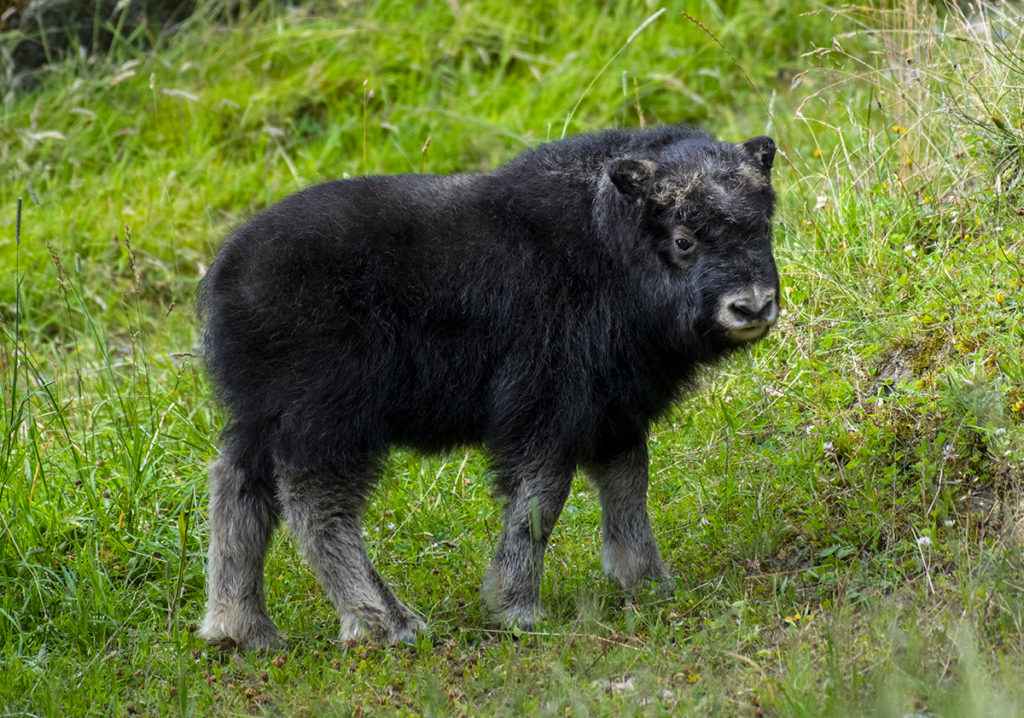 muskox calf in grass