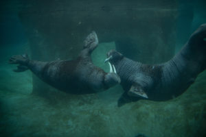 two walruses playing underwater