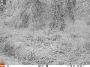 coyote pup in camera trap photo
