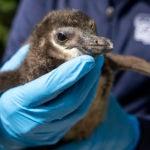 penguin chick in hands
