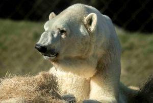 boris polar bear sitting