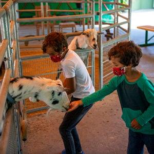 boys feeding goats