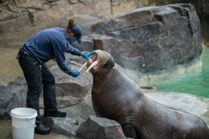Keeper with walrus Pakak