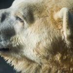 polar bear Boris