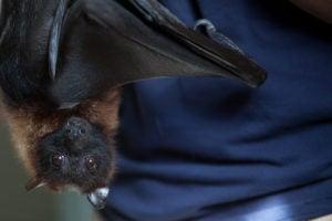 fruit bat on blue