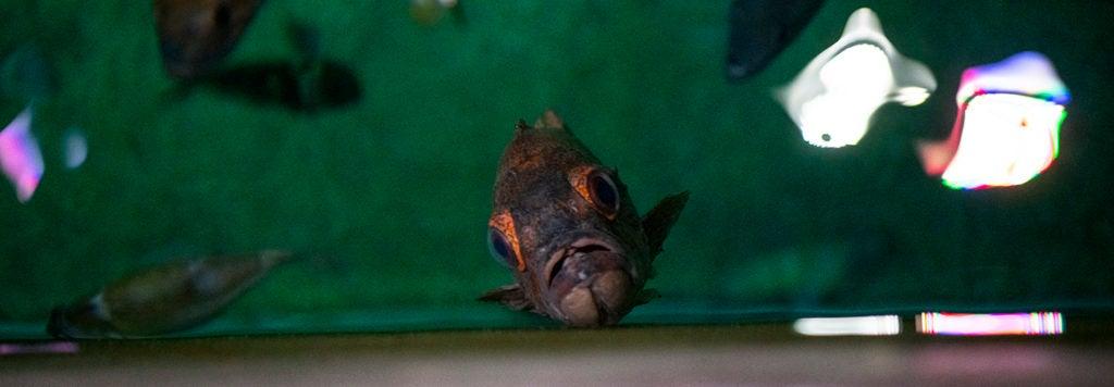 rockfish in water