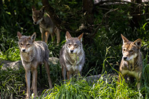 four red wolves in grass