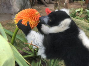 lemur sniffing torch lily