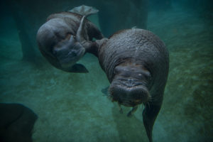 underwater walruses