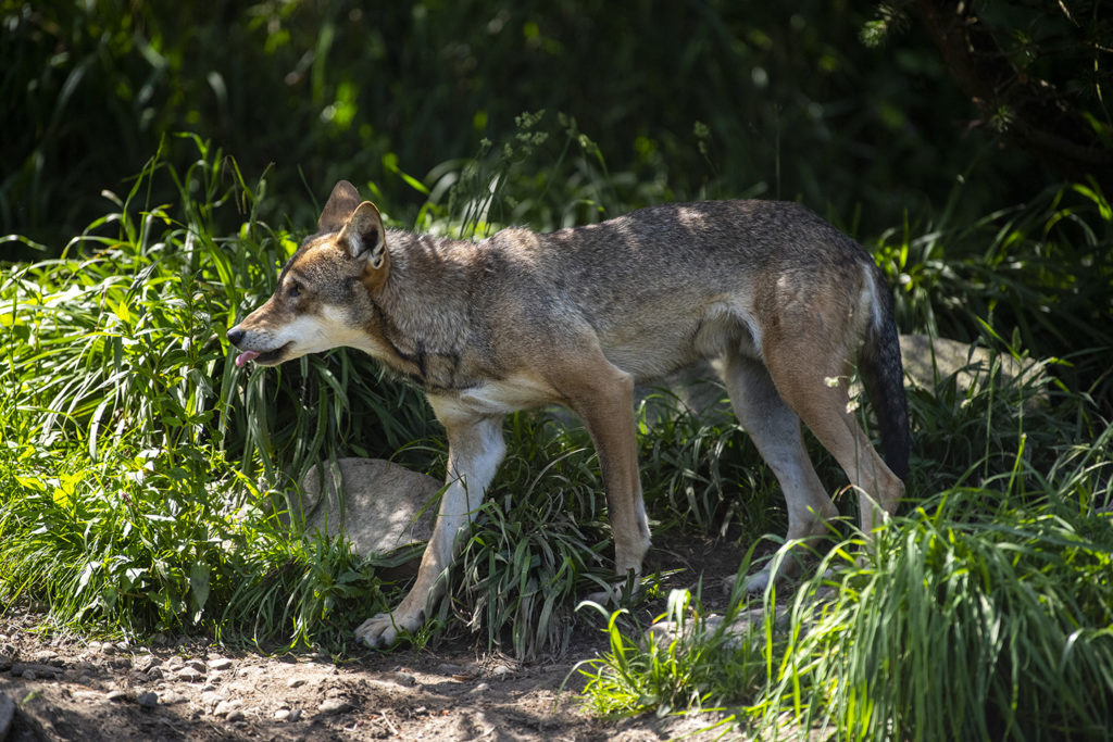 red wolf loping tongue out