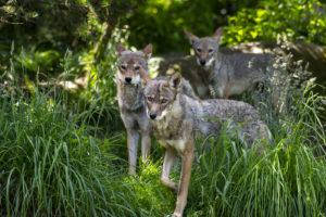 red wolf trio