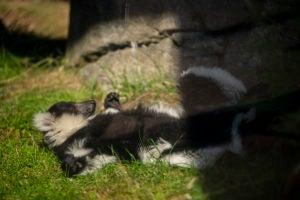 ruffed lemur albert