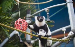 ruffed lemur playground