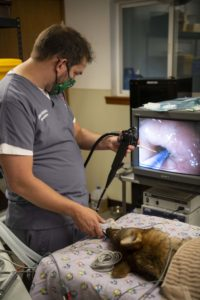 red wolf endoscopy