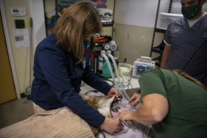 vet in wolf procedure