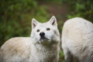 wolf looking up
