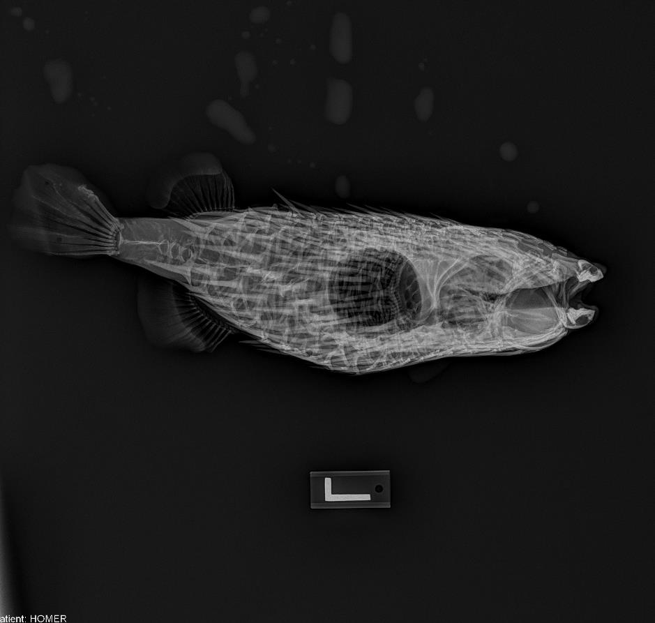 radiograph of porcupinefish